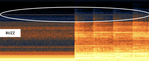 Buzz shown on a spectrogram